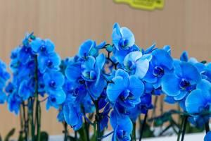 Viele blaue Orchideen
