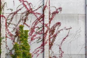 Wandbegrünung mit Kletterpflanzen in der Stadt
