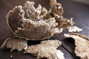 Wasps nest destroyed on a wooden table