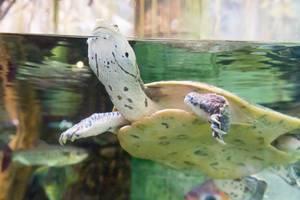 Wasserschildkröte im Shedd Aquarium