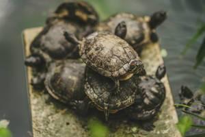 Wasserschildkröten auf einem Felsen