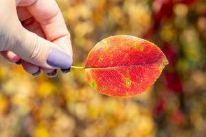 Weibliche Hand hält ein rotes Herbstblatt vor buntem Hintergrund