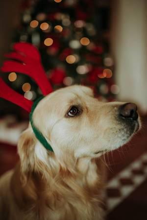 Weihnachtlicher Labrador trägt Kopfband mit Rentier-Geweih vor Tannenbaum in Bokeh
