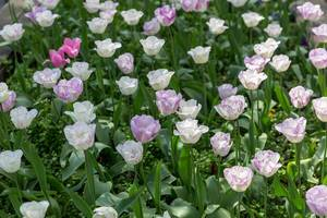 Weiß-lilafarbene Tulpen im Park