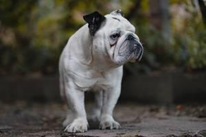 Weiße Bulldogge im Garten