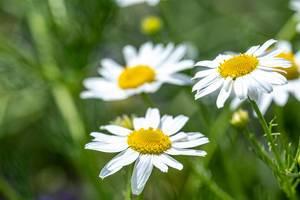 Weiße Gänseblümchen auf einer grünen Wiese
