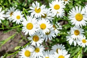 Weiße Kamilleblumen blühen im Garten unter natürlichem Sommerlicht