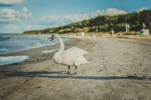 Weißer Schwan an einem Sandstrand