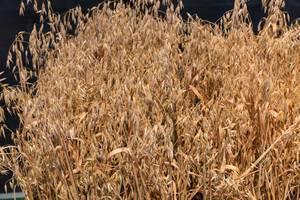 Weizen am Messestand von Landwirtschafts-Simulator 19