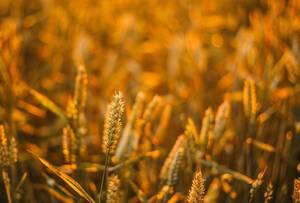 Weizen auf einem Feld zu goldener Stunde