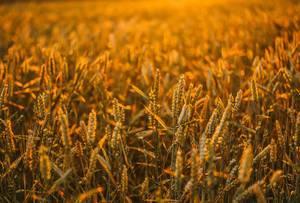Weizenfeld beim goldenen Licht
