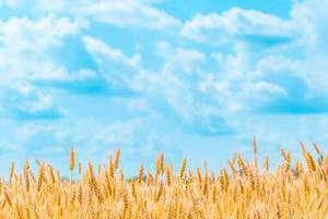 Weizenfeld mit Ähren vor dem blauen Himmel im Sommer