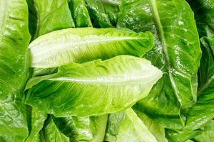 Wet leaves of fresh Romaine lettuce (Flip 2019)