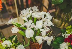White Iris Close Up Flowers (Flip 2019)