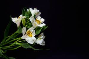 White lily flowers against the black background with copy space for text