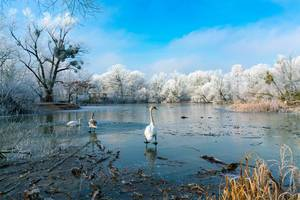 White swan standing on a frozen lake
