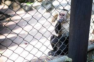 Whitefaced capuchin monkey