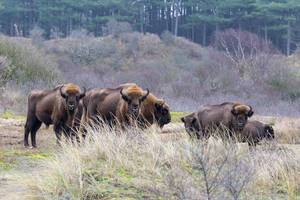 Wild bison on meadow in front of forest in Zuid Kennemerland National Park near Zandvoort, Netherlands