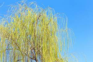 Willow tree with clear blue sky at the background