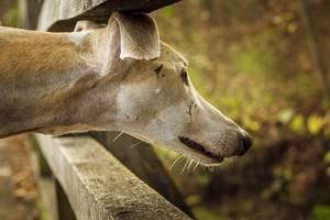 Windhund beobachtet mit ausgestrecktem Hals aufmerksam Bewegung oder Geräusch im Wald - Nahaufnahme