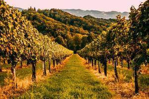 Wineyards in Austria