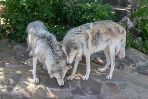 Wölfe im Moskauer Zoo