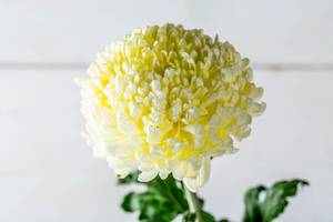 Yellow chrysanthemum on white background.