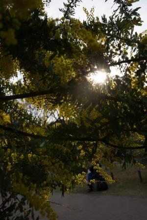 Yellow dogwood, Tokyo