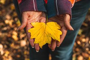 Yellow maple leaf in the hands of a girl in the autumn forest (Flip 2019)