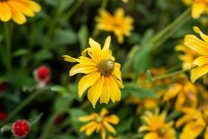 Yellow Marguerite Daisy Growing (Flip 2019)
