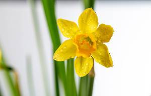 Yellow Narcissus flower with leaves