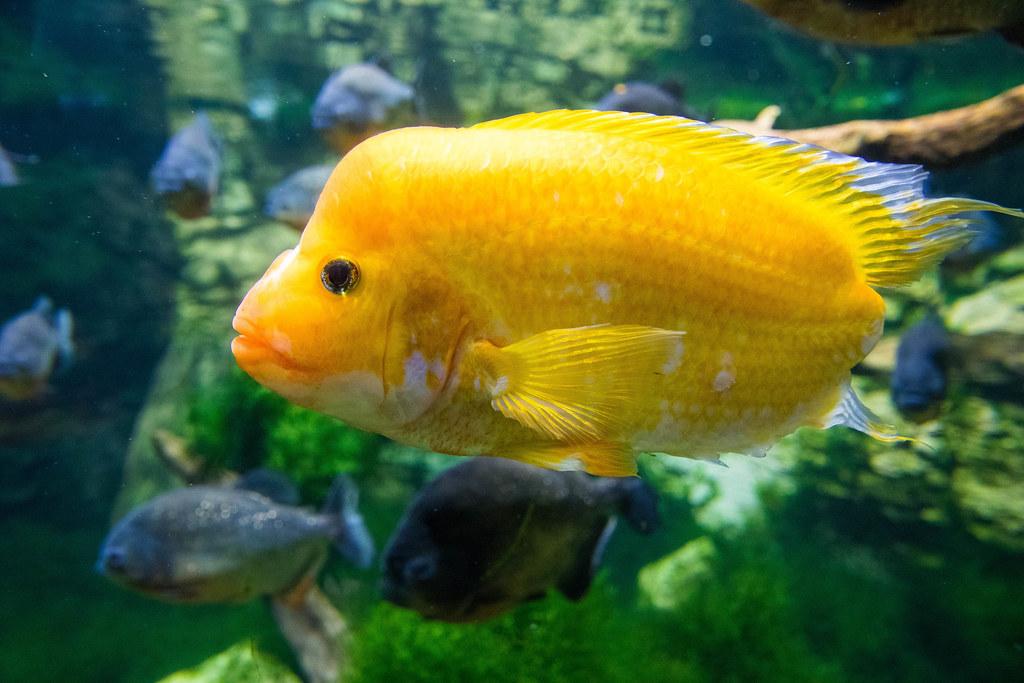 Yellow Puffer fish in Tropicarium Budapest