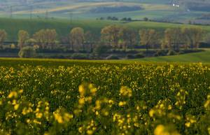 Yellow rapeseed field with trees in behind