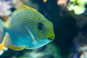Yellow spot rabbitfish (Flip 2019)