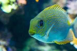 Yellow spot rabbitfish