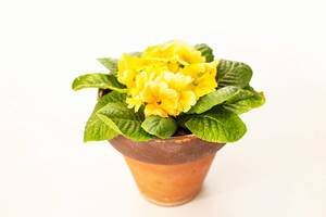 Yellow spring pansies flowers in ceramic pot isolated (Flip 2019)
