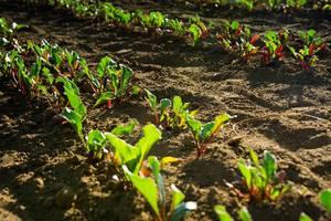 Young beet plants  Flip 2019