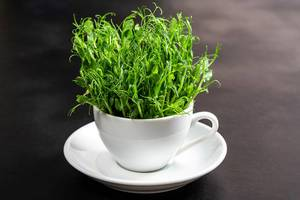 Young pea sprouts in a white Cup on a black background