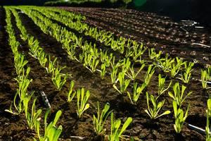 Young roman lettuce plants  Flip 2019