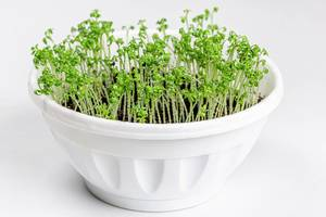 Young sprouts of watercress in a white flower pot