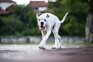 Young White Boxer Dog Walking Outdoor