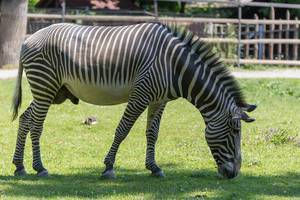 Zebra im Moskauer Zoo