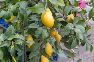 Zitronenbaum mit reifen Zitronen