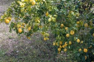 Zitronenbaum mit vielen reifen Zitronen