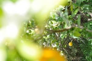 Zitronenbäume und eine reife Zitrone