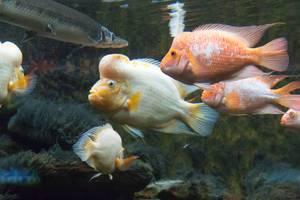 Zitronenbuntbarsch (Amphilophus citrinellus) im Shedd Aquarium