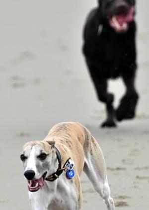 Zwei Hunde jagen sich