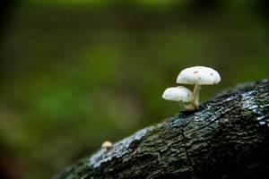 Zwei kleine weiße Pilze wachsen auf einem Baumstamm im Wald