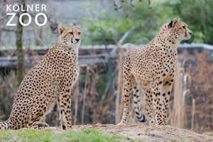 "Zwei Leoparden beobachten die Umgebung im Zoogehege neben dem Bildtitel ""Kölner Zoo"""