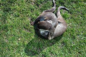 Zwei Otter beim Spielen